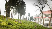 Experience Journey of Darjeeling Tea From Processing To Plucking with Tasting, Darjeeling, Cultural ...
