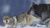 Private Wolf and Wildlife Winter Tours in Yellowstone, Yellowstone National Park, Nature & Wildlife