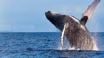 Whale Watching Eco-Adventure from Kailua-Kona, Big Island of Hawaii, Dolphin & Whale Watching