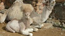Arteara Camel Park Entrance with Transfers, Gran Canaria, Nature & Wildlife