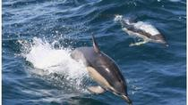 Royal Dolphin Whale watching excursion, Tenerife, Day Cruises