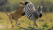 6-Day Masai Mara, Lake Nakuru and Amboseli Great Safari Tour from Nairobi, Nairobi, Multi-day Tours