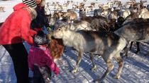 Reindeer Feeding, Lasso Throwing, and Sami Culture Tour Including Lunch from Tromso, Tromsö