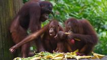 Private Tour: Full Day Sepilo Orang Utan and Bornean Sun Bear and Rainforest Discovery Centre Tour...