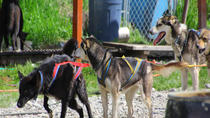 Skagway Shore Excursion: Yukon Dog Sledding and Sightseeing Tour, Skagway