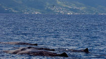Whale Watching Tour in Dominica, Dominica