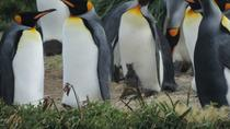 FULL DAY KING PENGUIN COLONY (regular tours), Punta Arenas, Day Cruises