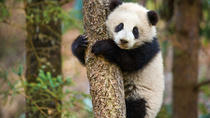 Chengdu Panda Base and Leshan Giant Buddha, Chengdu, Day Trips