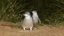 Phillip Island Penguin Parade, Brighton Beach, Moonlit Sanctuary vanuit Melbourne, Melbourne, Day Trips