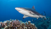 Buceo con tiburones en Oahu, Oahu, Shark Diving