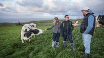 Genuine Azorean Milking Cows and Farm Experience, Ponta Delgada, Day Trips