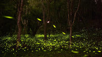 Self-Guided Tour With Private Transfer: Be Around With Fireflies And Tung Blossom, Taipei, Walking ...