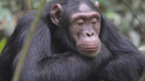 1 day Chimpanzee Tracking Tour in Budongo Forest, Kampala, Nature & Wildlife