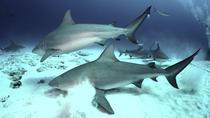 Two-Tank Dive with Bull Sharks, Playa del Carmen, Shark Diving