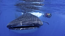 Whale Shark Swimming Adventure in Cancun, Cancun, Snorkeling