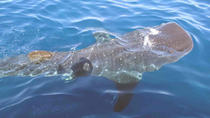 Whale Shark Group Adventure from Isla Holbox, Isla Holbox, Dolphin & Whale Watching