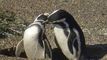 Excursion to Punta Tombo Penguin Reserve from Puerto Madryn, Puerto Madryn, Day Trips