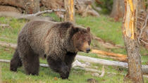 Yellowstone Custom Wildlife und Naturtour, Yellowstone National Park, Full-day Tours