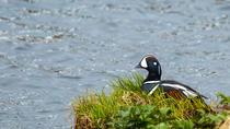 Lake Mývatn Birdwatching, North Iceland, Day Trips