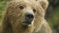 Flightseeing Wilderness Bear Viewing Tour , Homer, Nature & Wildlife