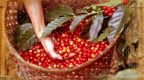 Organic Kona Coffee Farm and Mill Tour, Big Island of Hawaii, Coffee & Tea Tours