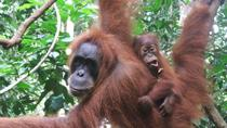 Sumatra Half-Day Orangutan Trek from Bukit Lawang, Sumatra, Walking Tours