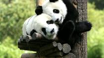 Private Volunteer Program At Dujiangyan Panda Rescue Center For A Day Including Lunch, Chengdu,...