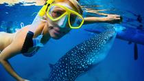 La Paz Whale Shark Snorkeling Tour and Lunch From Los Cabos, Los Cabos, Snorkeling