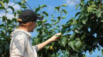 Small-group Japanese Pear Farming Tour from Tokyo, Tokyo, Day Trips
