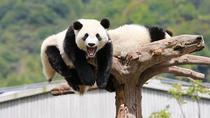 Private Chengdu Classic Tour: Panda Base and Sichuan Cuisine Research, Chengdu, Private Sightseeing...