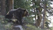 Discover Grizzly Bears from Banff, Banff, Ski & Snow