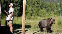 Discover Grizzly Bears from Banff, Banff, Day Trips