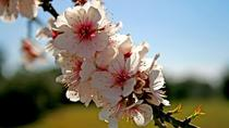 Flowering Almond Trees Small Group Tour with Douro DOC Wine Tasting and Côa Museum, Porto, ...