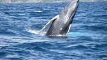Samana Whale Watching Tour with Biologist Guide, Samaná, null