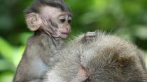 Halfday Tour Visit Monkey Forest - Taman Ayun Temple and Tanah Lot Sunset, Ubud, Private ...