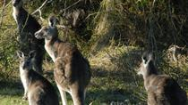 Walking with Wild Kangaroos Private Half-Day Trip from Sydney, Sydney, Day Trips