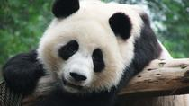 Chengdu Giant Panda & Leshan Giant Buddha Private Day Tour, Chengdu, Cultural Tours