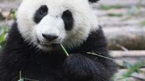 Chengdu Panda Research Base Half Day Private Tour, Chengdu, Private Sightseeing Tours