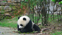 Panda Volunteer at Dujiangyan Panda Base, Chengdu, Day Trips