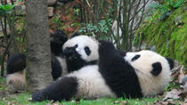 Volunteer at Dujiangyan Panda Base With Panda Feeding Including Buffet Lunch, Chengdu, Day Trips