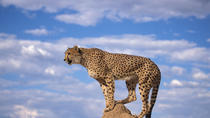 Cheetah,Penguin colony, Wine tour via Whale Route Including Pickup and dropoff, Cape Town, Wine ...