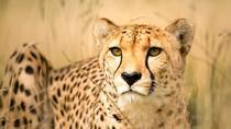 Zipline with Cheetah and Wine Tour, Cape Town, Ziplines