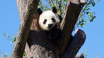 Chengdu Private Tour Of Giant Panda Breeding And Research Base and City Highlights With Lunch, ...
