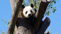 Chengdu Private Tour Of Giant Panda Breeding Research Base and City Highlights With Lunch, Chengdu, ...