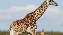 Giraffe Centre and David Sheldrick Elephant Orphanage Half-Day Tour from Nairobi, Nairobi, Day Trips