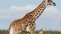 Giraffe Centre and David Sheldrick Elephant Orphanage Tour from Nairobi, Nairobi, Day Trips