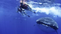 Swim with Whale Sharks from Playa del Carmen, Playa del Carmen, Snorkeling