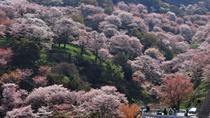 Watch Yoshino Senbonzakura with Special Lunchbox and Enjoy Strawberry Picking!, Osaka, Day Trips