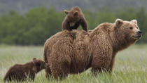 Small Group Tour-Wild Brown Bear Watching, Brasov, Nature & Wildlife