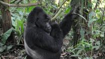 3 Days Gorilla trekking Safari Uganda, Bwindi Impenetrable Forest, Kampala, Multi-day Tours